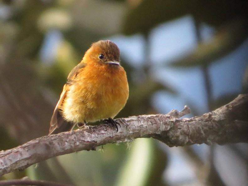 Atrapamoscas canelo (Pyrrhomyias cinnamomeus) / Cinnamon Flycatcher. Fotografía: Jorge Cano