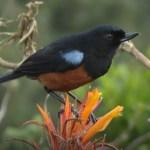 Aves endémicas Diglossa gloriosissima. Farallones del Citará. Foto: Sebastián Berrío
