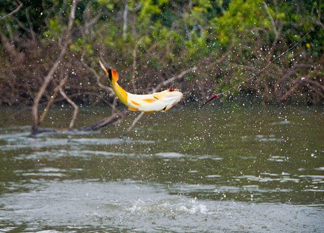 Jumping golden dorado