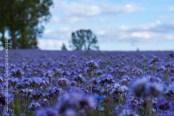 Spielerei mit blauen Blumen..