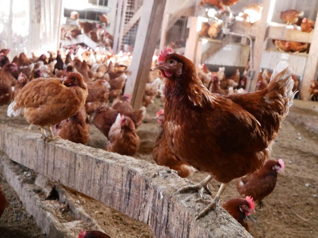 farm 2 bowl chickens