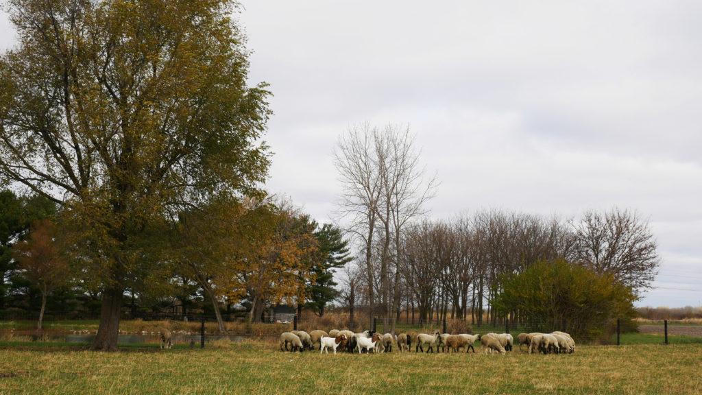 farm2bowl sheep