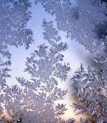 Frost Ferns
