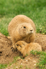 """CRW_8030: Prairie Dogs • <a style=""""font-size:0.8em;"""" href=""""http://www.flickr.com/photos/54494252@N00/13257370/"""" target=""""_blank"""">View on Flickr</a>"""