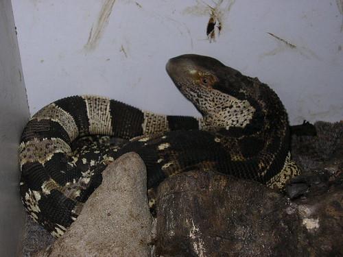 White Throated Monitor – Varanus albigularis | Reptiliana ...