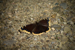 Mourning Cloak by Tom LeBlanc