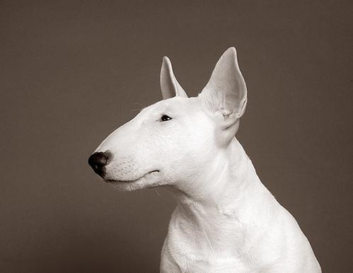 Puppy Bull Terrier! (3)