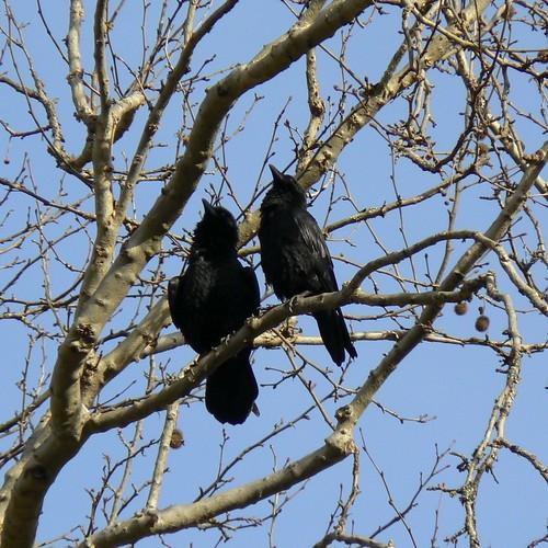 Even More Raven Courtship