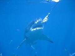 Shark goes for the bait