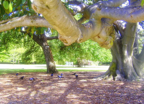 Moreton Bay Fig Ravens