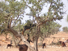 Goat up a Tree by neepsandtatties