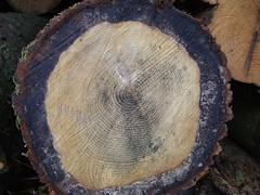 Tree-Ring - Shadow