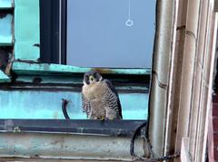 """Peregrine Falcon (""""Ballistic"""")"""