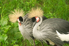 """CRW_8021: East African Cranes • <a style=""""font-size:0.8em;"""" href=""""http://www.flickr.com/photos/54494252@N00/13257251/"""" target=""""_blank"""">View on Flickr</a>"""
