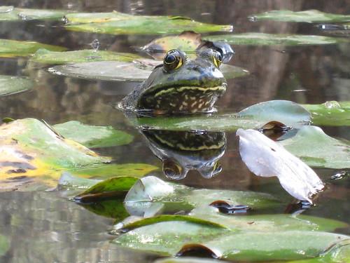 Caltech frog