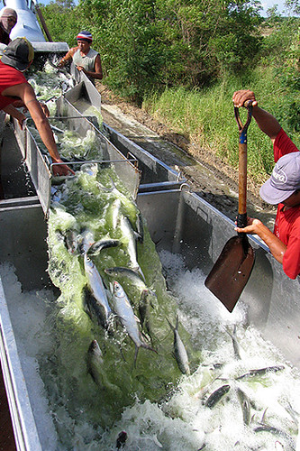 bangus sarangani davao del sur fish workers milkfish harvest Pinoy Filipino Pilipino Buhay  people pictures photos life Philippinen  菲律宾  菲律賓  필리핀(공화�) Philippines