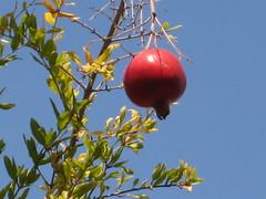 pomagranate/granada