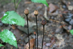 Indian Pipe Seedheads
