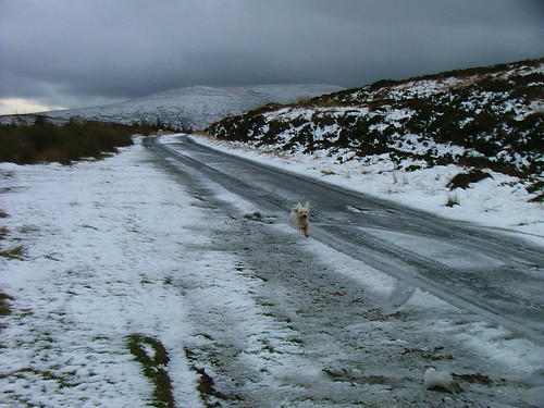 Bichon Frise on icey mountain road.