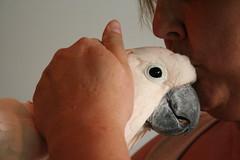 Cockatoo - Adoptable Birds