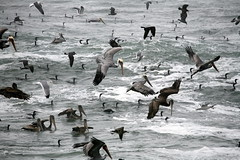 Feeding Frenzy of Cormorants and Brown Pelican...