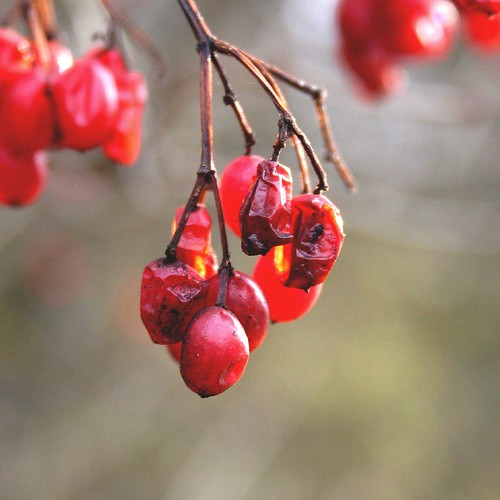 Transient Red Berries