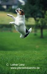 Jack Russell Terrier by Lothar Lenz