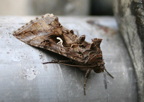 Silver Y moth by Flickr user Stange Ones