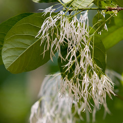 "IMG_5450: Fringe Tree • <a style=""font-size:0.8em;"" href=""http://www.flickr.com/photos/54494252@N00/16066963/"" target=""_blank"">View on Flickr</a>"