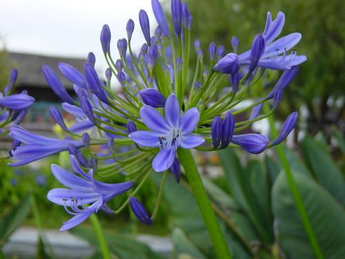 Purple Flowers - at Coronado Beach - 2005