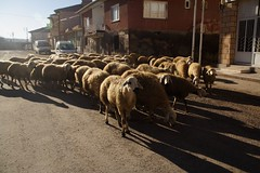 Herding Sheep (by Audiofan)