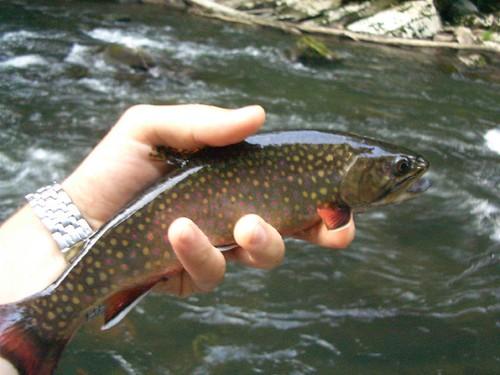 Savge River Wild Brook Trout