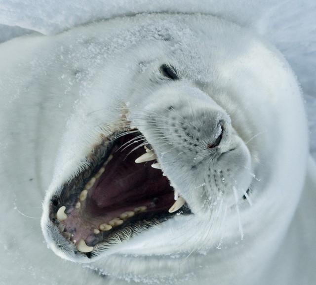 Crabeater Teeth