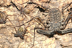 Predatory whip spiders have a sociable family life