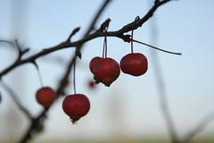 Small decorative apple