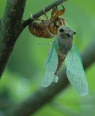 Cicada_2006
