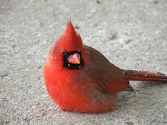 Cardinal on a Snowy Day