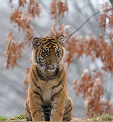 "IMG_3351: Tiger Cub • <a style=""font-size:0.8em;"" href=""http://www.flickr.com/photos/54494252@N00/359088169/"" target=""_blank"">View on Flickr</a>"