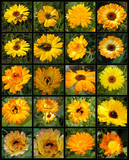 Calendula - Queen of Herbs