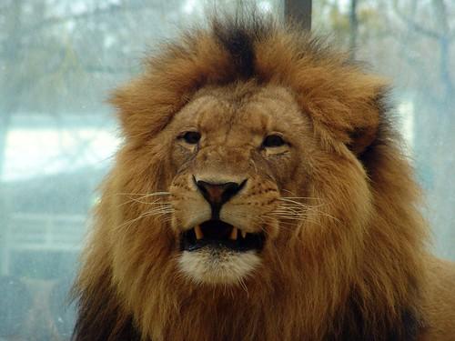 Löwe nach Verzehr eines Managers?