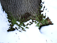 snow on base of oak