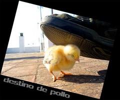 destino de pollo