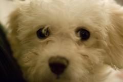 Olivia the Bichon puppy