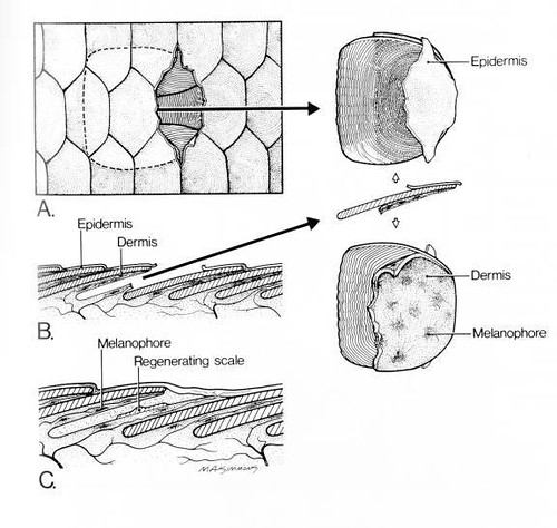 Fish Skin Diagram Find Wiring Diagram