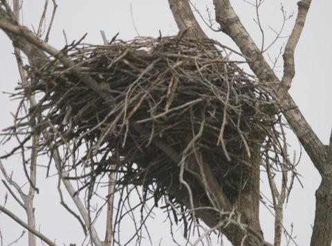 Bald Eagles 2, 3, 4, 5, Alton