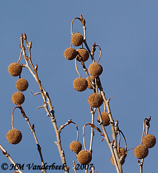 Itchy Ball Tree