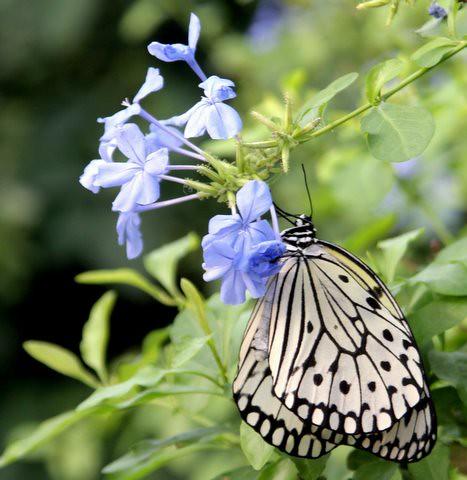 Paper Kite Butterfly, IMG_0860.JPG