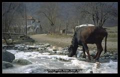 Water Buffalo / Wasserbüffel (Georgien / Georg...