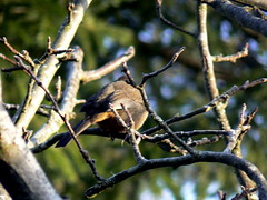 California Towhee butt
