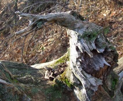 locust roots 4